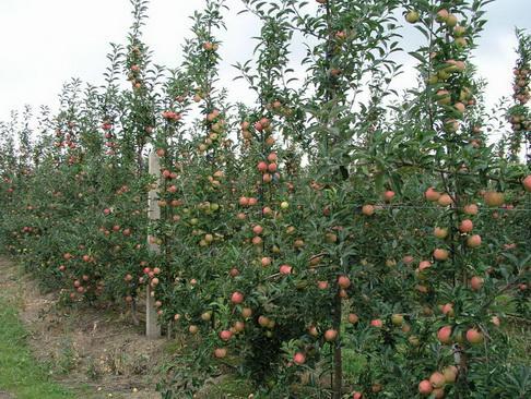 обрезка деревьев или сбор яблок